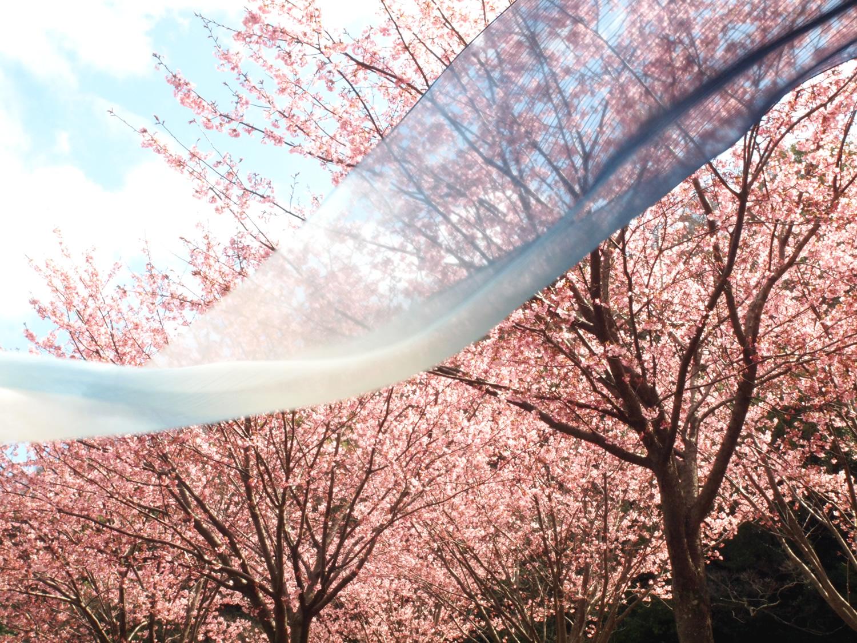 藍・春・桜/ indigo, spring and cherry blossom